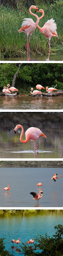 Galapagos Wildlife, Flamingos of Galapagos