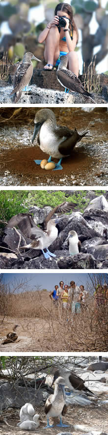 Galapagos Wildlife, Blue-footed boobies